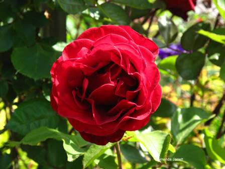 Climbing Amp Rambling Roses The Garden Website Com