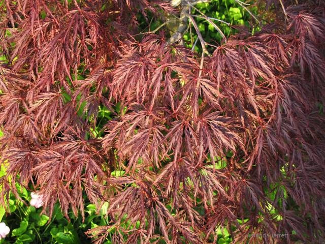 Acer palmatum dissectum atropurpureum,Japanese maple,October Plant of the Month The Garden Website.com,small trees,trees for fall colour,The Garden Website.com,Amanda's Garden Consulting,Amanda Jarrett,garden website