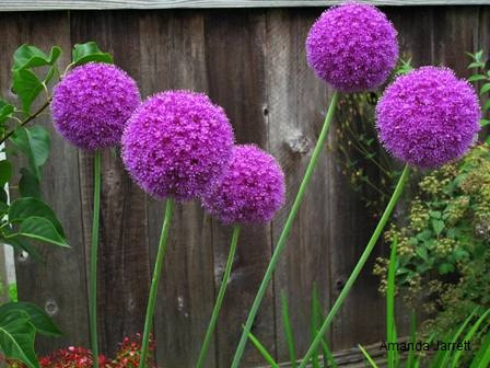Allium 'Gladiator' flowering onion,May gardens,May flowers,May garden chores,pruning,bedding plants,annuals,planting plants,soil improvement,fertilizers,houseplants,tropical plants,vegetable gardening,companion planting,succession planting,crop rotation,mulch,The Garden Website.com,Amanda's Garden Consulting,Amanda Jarrett