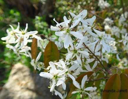 Amelanchier canadensis,serviceberry,Amanda Jarrett,spring gardens,spring plants,April gardens,April plants,April flowers,April lawn care,spring lawn care,April garden chores,sowing seeds,the Garden Website.com,Amanda's Garden Consulting