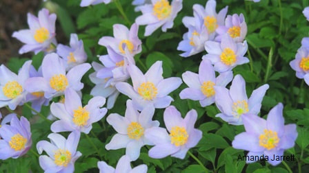 wood anemone nemerosa,May gardens,May flowers,May garden chores,pruning,bedding plants,annuals,planting plants,soil improvement,fertilizers,houseplants,tropical plants,vegetable gardening,companion planting,succession planting,crop rotation,mulch,The Garden Website.com,Amanda's Garden Consulting,Amanda Jarrett