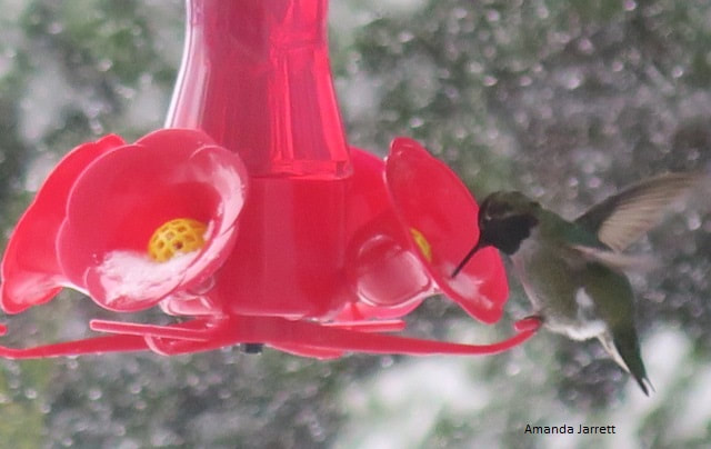 hummingbirds in winter,Anna's hummingbirds,winter wildlife,organic gardening,November gardening,November plants,The Garden Website.com,The Garden Website,Amanda Jarrett,Amanda's Garden Consulting