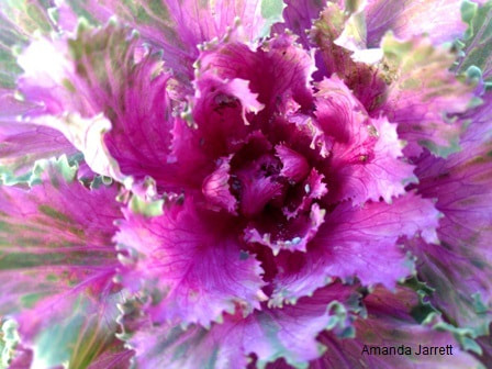 ornamental kale,November gardening,November plants,The Garden Website.com,The Garden Website,Amanda Jarrett,Amanda's Garden Consulting
