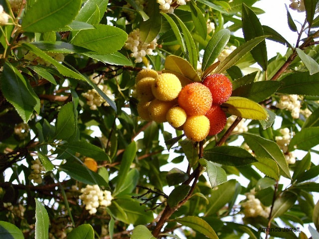 Arbutus unedo 'Compacta',strawberry tree,November gardening,November plants,The Garden Website.com,The Garden Website,Amanda Jarrett,Amanda's Garden Consulting