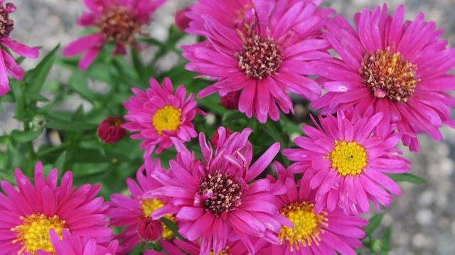 'Hazy Dark Pink' New York aster,New York aster,New England aster,fall,alpine aster,Symphyotrichum novi-belgii,Symphyotrichum alpinus, Symphyotrichum nova-angliae,Michaelmas daisy,fall aster,plants for fall,autumn plants,fall flowers,purple flowers,October plant of the month,the garden website.com,Amanda Jarrett,Amanda's Garden Consulting