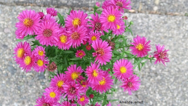 Aster novi-belgii 'Hazy Dark Pink' New York aster,New York aster,New England aster,fall,alpine aster,Symphyotrichum novi-belgii,Symphyotrichum alpinus, Symphyotrichum nova-angliae,Michaelmas daisy,fall aster,plants for fall,autumn plants,fall flowers,purple flowers,October plant of the month,the garden website.com,Amanda Jarrett,Amanda's Garden Consulting