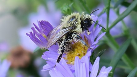 bees,pollinators,hummingbird plant,New York aster,New England aster,fall,alpine aster,Symphyotrichum novi-belgii,Symphyotrichum alpinus, Symphyotrichum nova-angliae,Michaelmas daisy,fall aster,plants for fall,autumn plants,fall flowers,purple flowers,October plant of the month,the garden website.com,Amanda Jarrett,Amanda's Garden Consulting