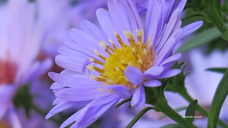 New York aster,New England aster,fall,alpine aster,Symphyotrichum novi-belgii,Symphyotrichum alpinus, Symphyotrichum nova-angliae,Michaelmas daisy,fall aster,plants for fall,autumn plants,fall flowers,purple flowers,October plant of the month,the garden website.com,Amanda Jarrett,Amanda's Garden Consulting