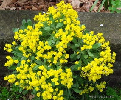 Aurinia saxatilis,basket of gold,May gardens,spring gardens,May flowers,May lawn care,vegetable gardening,pollinators,May garden journal,The Garden Website,com,Amanda's Garden Consulting,Amanda Jarrett,garden website