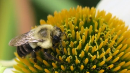 plants for pollinators,May garden chores,spring gardening,May garden journal,The Garden Website,com,Amanda's Garden Consulting,Amanda Jarrett,garden website