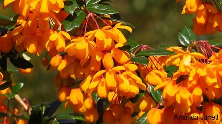 Berberis x lologensis,Lake Lolog Barberry,Amanda Jarrett,spring gardens,spring plants,April gardens,April plants,April flowers,April lawn care,spring lawn care,April garden chores,sowing seeds,the Garden Website.com,Amanda's Garden Consulting