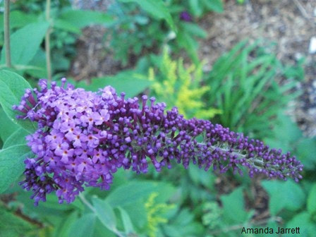 Buddleja (Buddleia) davidii,butterfly bush,August gardens,August flowers,summer gardening,pruning,harvesting,harvest,summer lawn care,turf,rose sawfly,Heritage Vancouver,drought,deadheading,pruning,tomato diseases,the garden website.com,Amanda's Garden Consulting,Amanda Jarrett