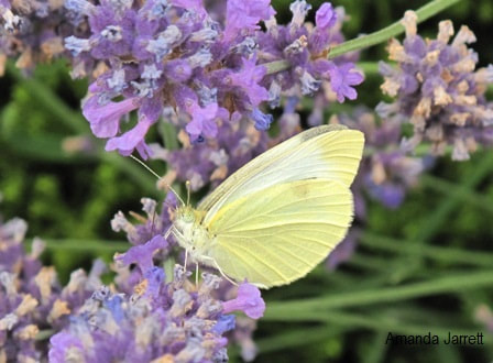 cabbage white butterfly,pollinator,insect control,the garden website.com,Amanda's Garden Consulting,Amanda Jarrett