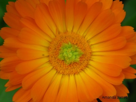 Calendula officinalis,Scotch marigold,pot marigold,sowing seeds outdoors,direct seeding,Amanda Jarrett,spring gardens,spring plants,April gardens,April plants,April flowers,April lawn care,spring lawn care,April garden chores,sowing seeds,the Garden Website.com,Amanda's Garden Consulting