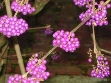 Callicarpa,Beautyberry,Callicarpa formosana,November gardening,November garden chores,November plants,autumn gardening,autumn plants,November plants,slug control,November lawn care,fall planters,planting garlic,houseplant care,spider mites,hardwood cuttings,caterpillars,tree bands, ,The Garden Website.com,The Garden Website,Amanda Jarrett,Amanda's Garden Consulting,garden website