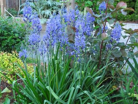 Camassia leichtlinii,Camas,May gardens,May flowers,May garden chores,pruning,bedding plants,annuals,planting plants,soil improvement,fertilizers,houseplants,tropical plants,vegetable gardening,companion planting,succession planting,crop rotation,mulch,The Garden Website.com,Amanda's Garden Consulting,Amanda Jarrett