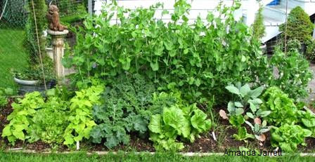 vegetable gardening,crop rotation,crop succession,companion planting,interplanting,The Garden Website,com,Amanda's Garden Consulting,Amanda Jarrett,garden website