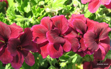 Pelargonium regal 'Black Lace',saving geraniums,saving annuals,September gardens,September plants,September flowers,fall gardening,autumn gardening,landscaping jobs,The Garden Website.com,Amanda's Garden Consulting,Amanda's Garden Consulting,Amanda Jarrett