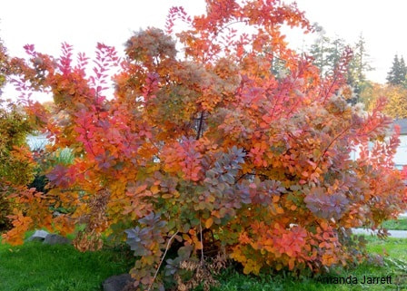 Cotinus coggygria 'Royal Purple',purple smokebush,fall colour,November gardening,November plants,The Garden Website.com,The Garden Website,Amanda Jarrett,Amanda's Garden Consulting