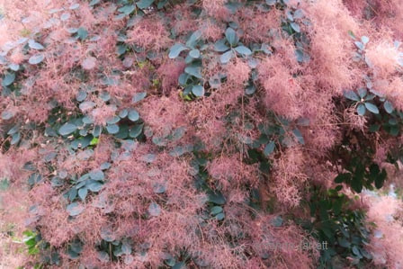 Cotinus coggygria 'Royal Purple',purple smoke bush,May gardens,May flowers,May garden chores,pruning,bedding plants,annuals,planting plants,soil improvement,fertilizers,houseplants,tropical plants,vegetable gardening,companion planting,succession planting,crop rotation,mulch,The Garden Website.com,Amanda's Garden Consulting,Amanda Jarrett