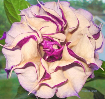 Datura fastuosa 'Double Purple',devil's trumpet,houseplants,tropical plants,May garden chores,spring gardening,May garden journal,The Garden Website,com,Amanda's Garden Consulting,Amanda Jarrett,garden website