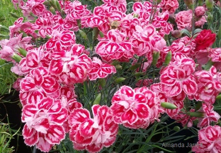 Dianthus 'Starburst',dividing perennials,February  Gardens,February plants,winter gardening,the Garden Website.com,Amanda Jarrett,Amanda's Garden Consulting