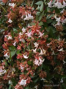 Abelia grandiflora,glossy abelia,fall November gardening,November plants,The Garden Website.com,The Garden Website,Amanda Jarrett,Amanda's Garden Consulting,flowers