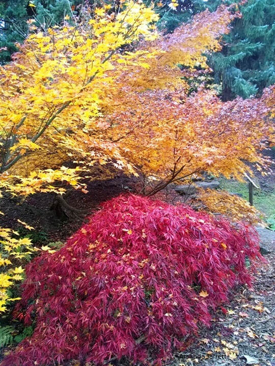 Japanese maples,November gardening,November garden chores,November plants,autumn gardening,autumn plants,November plants,slug control,November lawn care,fall planters,planting garlic,houseplant care,spider mites,hardwood cuttings,caterpillars,tree bands, ,The Garden Website.com,The Garden Website,Amanda Jarrett,Amanda's Garden Consulting,garden website