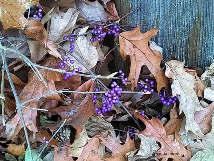 callicarpa,November gardening,November garden chores,November plants,autumn gardening,autumn plants,November plants,slug control,November lawn care,fall planters,planting garlic,houseplant care,spider mites,hardwood cuttings,caterpillars,tree bands, ,The Garden Website.com,The Garden Website,Amanda Jarrett,Amanda's Garden Consulting,garden website