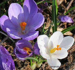 crocus,early flowering plants for bees,organic gardening,November gardening,November plants,The Garden Website.com,The Garden Website,Amanda Jarrett,Amanda's Garden Consulting