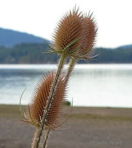 teasel,Dipsacus fullonum,seedheads,feeding winter birds,November gardening,organic gardening,November plants,The Garden Website.com,The Garden Website,Amanda Jarrett,Amanda's Garden Consulting