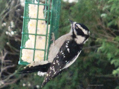 suet for birds,feeding winter birds,organic gardening,November gardening,November plants,The Garden Website.com,The Garden Website,Amanda Jarrett,Amanda's Garden Consulting