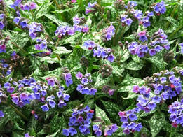 Pulmonaria,lungwort,spring gardening,April gardens,April gardening,the garden website.com,Lee Valley Tools,Amanda's Garden Consulting,Amanda Jarrett