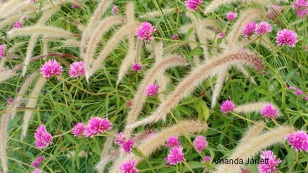 Gomphrena 'Pink Zazzle',Pennisetum setaceum,September plant combination,September gardens,September plants,September flowers,fall gardening,landscaping jobs,The Garden Website.com,Amanda's Garden Consulting,Amanda's Garden Consulting,Amanda Jarrett
