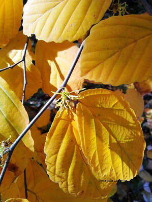 Hamamelis virginiana,Virginia witch hazel,November gardening,November garden chores,November plants,autumn gardening,autumn plants,November plants,slug control,November lawn care,fall planters,planting garlic,houseplant care,spider mites,hardwood cuttings,caterpillars,tree bands, ,The Garden Website.com,The Garden Website,Amanda Jarrett,Amanda's Garden Consulting,garden website