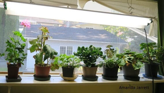 winter houseplants care,organic gardening,November gardening,November plants,The Garden Website.com,The Garden Website,Amanda Jarrett,Amanda's Garden Consulting