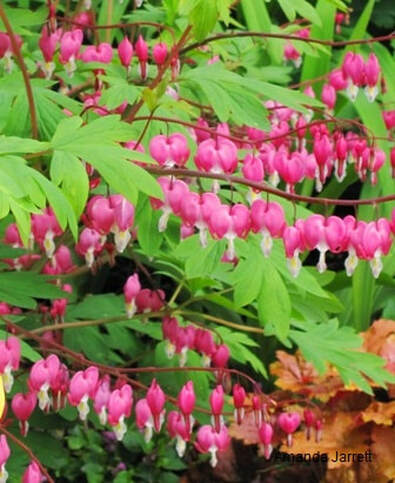 bleeding hearts,Lamprocapnos spectabilis,dicentra spectabilis,Amanda Jarrett,spring gardens,spring plants,April gardens,April plants,April flowers,April lawn care,spring lawn care,April garden chores,sowing seeds,the Garden Website.com,Amanda's Garden Consulting
