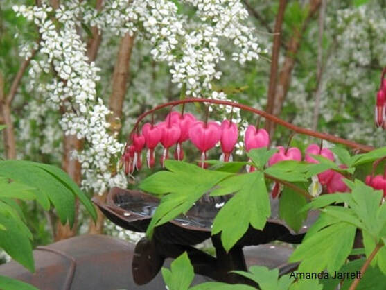Lamprocapnos spectabilis,bleeding heart,Spiraea x vanhouttei,bridal wreath spirea,Amanda Jarrett,spring gardens,spring plants,April gardens,April plants,April flowers,April lawn care,spring lawn care,April garden chores,sowing seeds,the Garden Website.com,Amanda's Garden Consulting