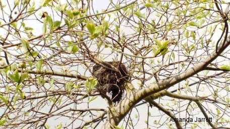 birds nests in trees pruning,May garden chores,spring gardening,May garden journal,The Garden Website,com,Amanda's Garden Consulting,Amanda Jarrett,garden website