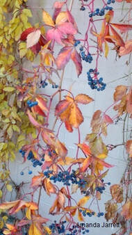 Parthenocissus quincefolia,Virginia creeper,fall colour,November gardening,November plants,The Garden Website.com,The Garden Website,Amanda Jarrett,Amanda's Garden Consulting