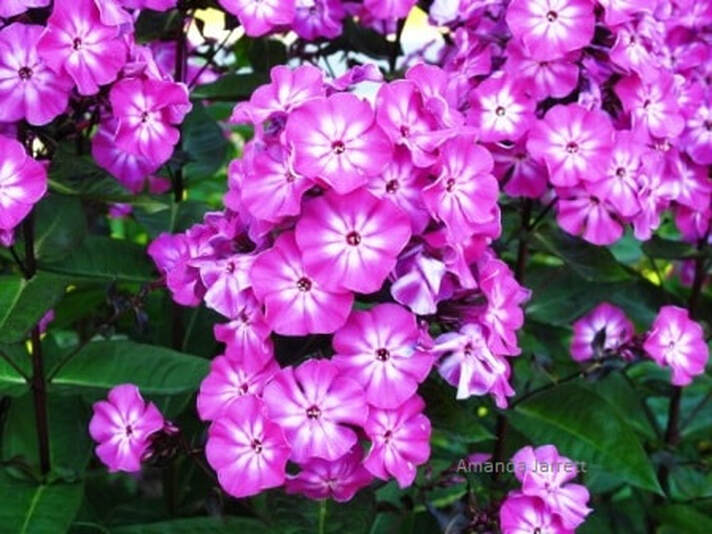 phlox paniculata,July plant of the month,July gardens,July flowers,July garden chores,the garden website.com,Amanda's Garden Consulting,Amanda Jarrett
