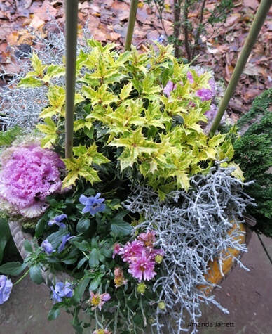 planters for winter colour,osmanthus,organic gardening,November gardening,November plants,The Garden Website.com,The Garden Website,Amanda Jarrett,Amanda's Garden Consulting