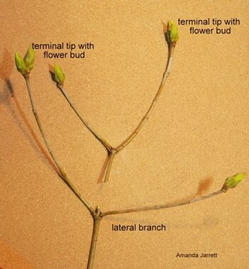 pruning, side branch, lateral branch
