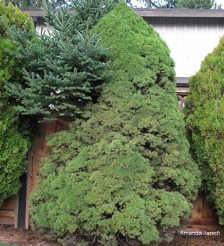 dwarf Alberta spruce, reverting, sports, pruning