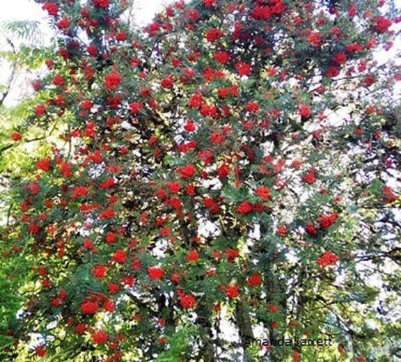 mountain ash,rowan tree,wizard's tree,Sorbus aucuparia,The Garden Website.com,November Plant of the month,Amanda's Garden Consulting,Amanda Jarrett,garden website