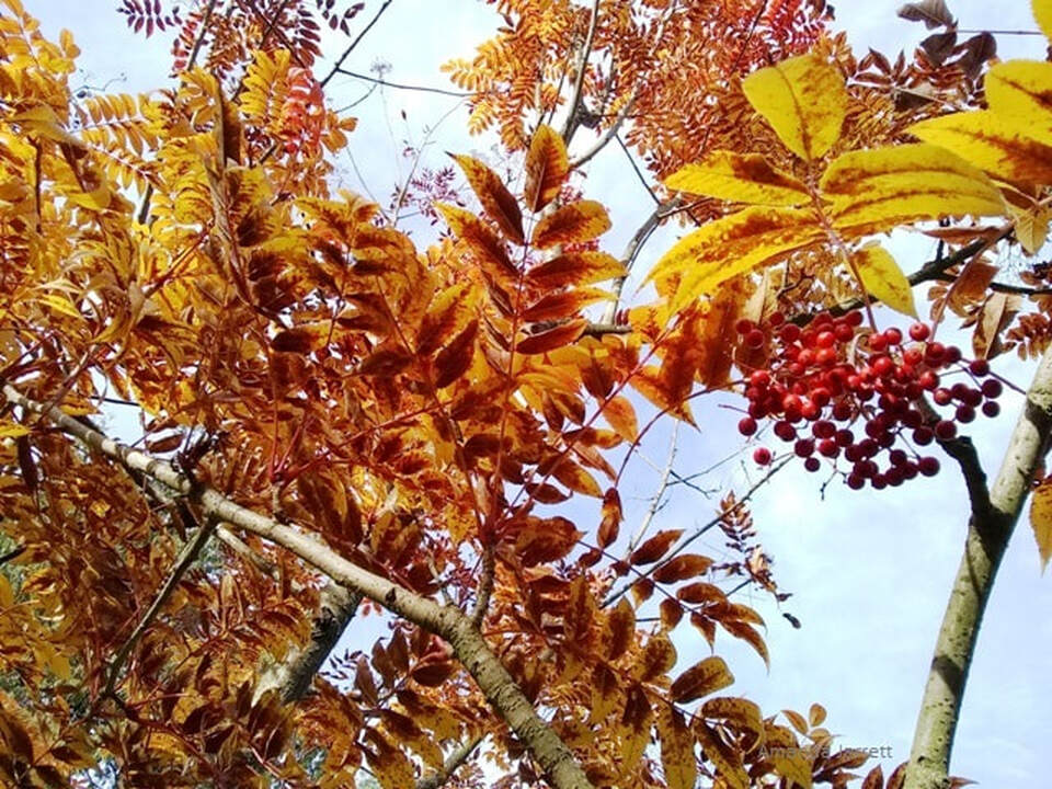 Sorbus sargentiana,Sargent Mountain Ash,mountain ash,rowan tree,wizard's tree,Sorbus aucuparia,The Garden Website.com,November Plant of the month,Amanda's Garden Consulting,Amanda Jarrett,garden website