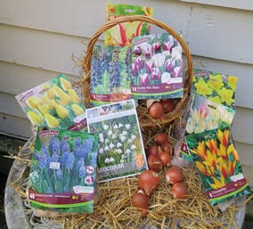 spring bulbs,spring flowering bulbs,how to plant fall bulbs,tulips,hyacinths,narcissus,daffodils,scilla,The Garden Website.com,Amanda's Garden Consulting,Amanda Jarrett