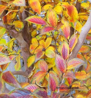 Stewartia pseudocamellia,fall colour,November gardening,November plants,The Garden Website.com,The Garden Website,Amanda Jarrett,Amanda's Garden Consulting