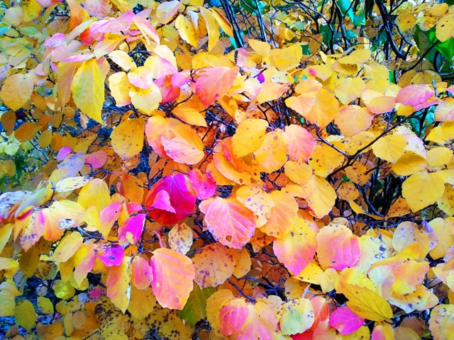 Fothergilla gardenii,dwarf fothergilla,November gardening,November garden chores,November plants,autumn gardening,autumn plants,November plants,slug control,November lawn care,fall planters,planting garlic,houseplant care,spider mites,hardwood cuttings,caterpillars,tree bands, ,The Garden Website.com,The Garden Website,Amanda Jarrett,Amanda's Garden Consulting,garden website