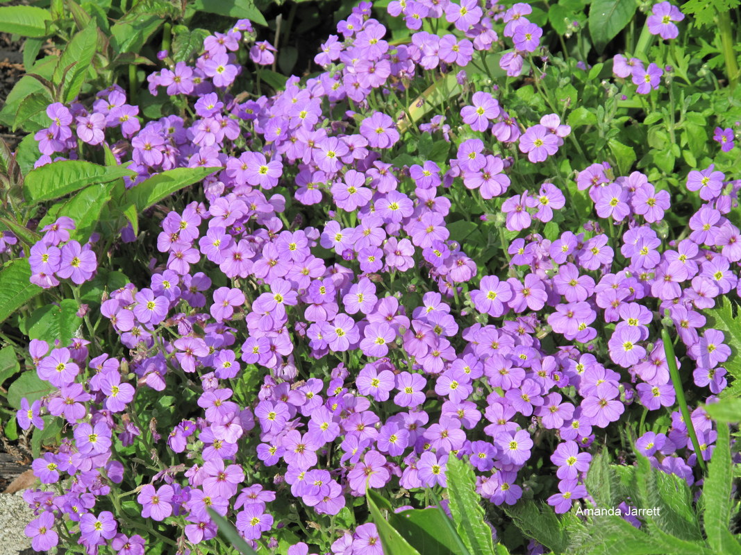 aubretia,purple rock cress,Aubrieta deltoidea,spring gardening,April gardens,April gardening,the garden website.com,Lee Valley Tools,Amanda's Garden Consulting,Amanda Jarrett